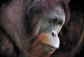 Orangutan,Pongo pygmaeus