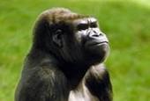 Goryl,Gorilla gorilla