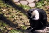 Koczkodan diana, Cercopithecus diana, Diana Monkey