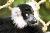 Lemur wari, Lemurus variegatus, Black-and-white Ruffed Lemur