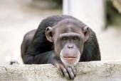 Szympans,Pan troglodytes,Chimpanzee