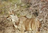 Kudu wielkie, Tragelaphus strepsiceros, Greater Kudu