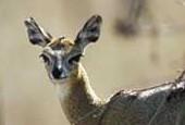 Antylopa Bates'a, Neotragus batesi, Bates\'s Pygmy Antelope