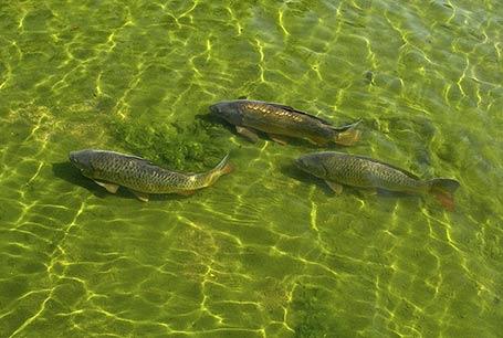 Karp, Cyprinus carpio, Common carp