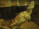 Żółw jaszczurowaty, Chelydra serpentina, common snapping turtle
