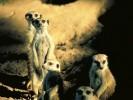 Surykatka, Suricatta suricatta, meerkat