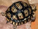 Żółw lamparci, Geochelone pardalis, Leopard tortoise