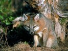 Lis wirginijski, Urocyon cinereoargentus, gray fox