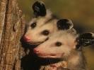 Dydelf północny,Didelphis virginianus,Common Opossum