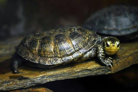 Żółw błotny, Emys orbicularis, European pond turtle