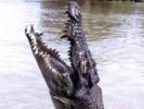 Krokodyl różańcowy, Crocodylus porosus, estuarine crocodile