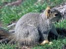 Wiewiórka szara, Sciurus carolinensis, eastern gray squirrel