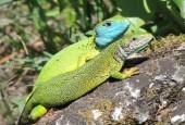 Jaszczurka zielona - samiec i samica.By Kat1100 (Own work) [GFDL or CC BY 3.0], via Wikimedia Commons