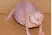 Kretoszczurowate