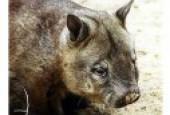Wombatowate