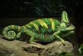 Kameleonowate