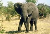 Słoniowate