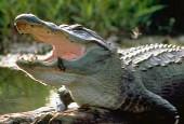 Aligatorowate