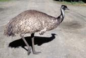 Kazuarowate