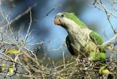 Papugowe