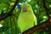 Papugi wschodnie