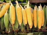 Co zmienia projekt ustawy o GMO?