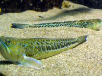 Jadowita ryba w Bałtyku