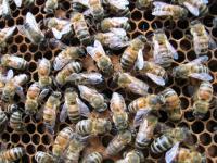 Kolonie owadów funkcjonują jak superorganizmy