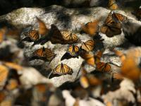Nawigacja według motyli