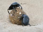 Ten owad jest mistrzem wśród siłaczy!