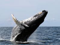 Szum statków zagłusza wieloryby