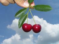 Sok z wiśni naturalnym sposobem na bezsenność