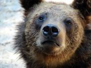 Wojtek – niedźwiedź brunatny, który nosił mundur ...