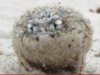 Żaba, która cienko piszczy