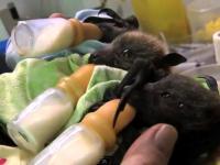 Sierociniec dla  nietoperzy
