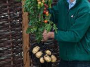 Pomidory i ziemniaki z jednego krzaka?