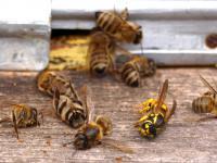 Pestycydy zagrażają całym pszczelim rodzinom
