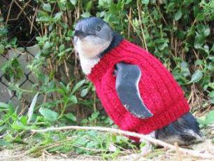 Po co australijskim pingwinom sweterki? Umiesz robić na drutach? Jednocześnie lubisz małe, słodkie p