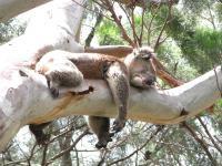 Dlaczego misie koala przytulają się do drzew?