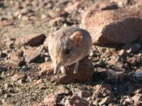 Macroskeledies Micas: ni to mysz, ni to słoń…