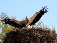 Monitoring bocianów. Ornitolodzy policzyli polskie bociany