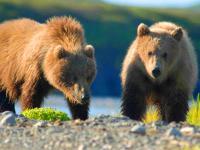 Niedźwiedź brunatny w Polsce. Rośnie populacja polskich niedźwiedzi