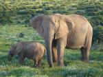 Afrykańskie słonie wkrótce mogą zniknąć z powierzchni Ziemi
