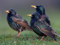 Szpaki zdominowały Europejskie Dni Ptaków