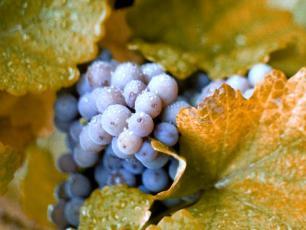 Dlaczego nie warto wyrzucać pestek z winogron?