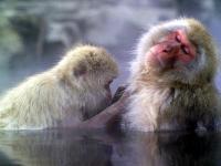 Małpy w kąpieli