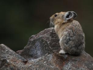 """""""Magiczny królik"""" na skraju wyginięcia"""
