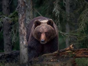 Niedźwiedź Iwo wrócił do Polski