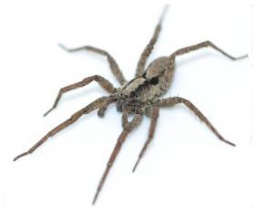 Czy pająki potrafią śpiewać?