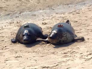 Do Bałtyku zostanie wypuszczonych dziewięć fok szarych